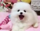 深圳狗狗之家长期出售高品质 博美 售后无忧