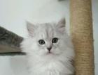 自家繁殖的苏格兰猫待售中