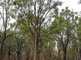 30公分,全冠香樟,绿化行道树,规格齐全,福建苗木基地直销
