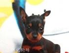可爱健康的小鹿犬狗狗出售了 迷你型的长不大的小鹿
