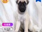 哪里有卖巴哥犬巴哥犬多少钱 支持全国发货