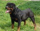 本场出售纯种罗威纳犬 罗威纳幼犬 品相好 健康保障