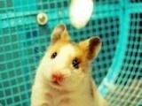 博宇水陆坊批发零售各种仓鼠,价格低,品质优。