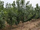 烟台大樱桃苗哪里有卖_滨州大樱桃苗