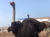 德州大型鸵鸟场 出售幼雏鸵鸟苗