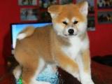 出售纯种日秋田犬 血统纯正 品相 可签保障协议