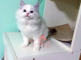 布偶猫哈尔滨哪里有卖的 布偶猫价格 布偶猫多少钱