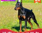 本地出售纯种杜宾幼犬,十年信誉有保障