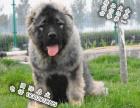 极品高加索猛犬 高加索多大 高加索多少钱 俄系高加索