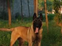 自贡哪里有出售马犬幼犬的 纯种马犬幼犬多少钱一只