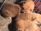 出售两个月左右的表情帝柴犬幼犬