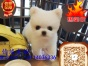 精品哈多利球体茶杯体博美俊介幼犬签正式协议