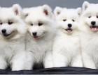 萨摩耶犬萨摩耶幼犬萨摩耶家养繁殖出售活体宠物狗