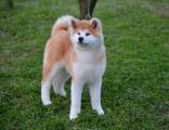 哪里出售日系秋田犬幼犬 日系秋田多少钱一只