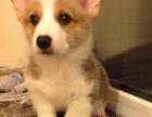 专业繁殖纯种威尔士柯基犬幼犬出售,纯种健康