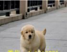 自己繁殖的一窝纯种黄金金金毛幼犬纯种健康好养哦