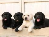 精品奶白色奶幼色黑色拉布拉多犬双血统大骨架头