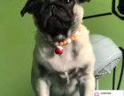哪里有卖巴哥犬 出售纯种巴哥犬犬舍在哪里