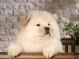 佛山哪里买松狮犬 高品质爆毛量松狮犬 选广东旺驰犬舍