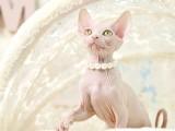 德文卷毛猫宠物猫幼崽活物证书加拿大无毛猫