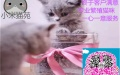 猫苑纯正英短优质品种,大包子脸蓝猫出售,疫苗已经做完