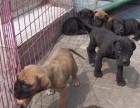 昆明西山区养殖场出售纯种大丹犬狗场大丹犬包纯健康