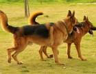 成年德国牧羊犬出售 德国牧羊犬价格