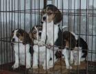 上海哪里有卖比格犬 上海纯种比格犬幼犬一只多少钱