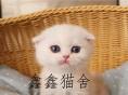 活体蓝猫苏格兰折耳猫保健康售后保证纯种
