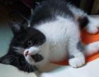 自家加菲小猫