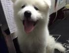 微笑天使萨摩耶