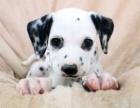 高品质双血统斑点狗哪里可以买到好一点的