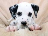 家养一窝纯种斑点狗可以签协议 来家里看狗父母