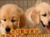纯种金毛幼犬疫苗齐全协议质保免费送货上门