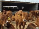 临沂西门塔尔牛养殖场
