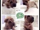 西安出售2 4个月幼犬(沙皮)疫苗齐签协议