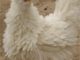 无锡大量供应各类观赏鸡 送货上门