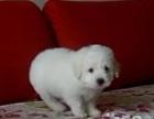 转让自家大狗下的一窝萨摩耶幼犬 公母多只挑选 健康