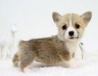 拒绝星期狗 专业繁殖柯基犬 可货到付款 可基地挑选
