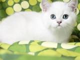 纯种英短银渐层幼猫折耳英国短毛猫矮脚小猫活物幼崽活体宠物猫咪