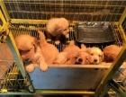 红河卖金毛红河买纯种金毛红河狗场常年出售纯种金毛