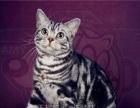 纯种苏格兰折耳猫美短银虎斑 超萌苏折根折妹妹