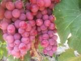 新疆红提种植企业 绿色食品 天然富硒食品