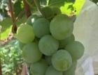 长广葡萄不打药无农残,实实在在济南人自家的葡萄园