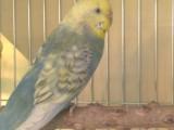 出对金珍珠种鸟,种鸟,是种鸟!