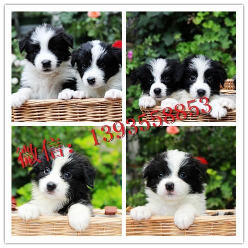 天津宠物狗活体博美比熊泰迪阿拉斯加哈士奇幼犬活体狗狗纯种幼犬