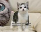 猫舍出售纯种猫咪纯种美短虎斑猫虎斑加白起司猫