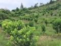 广西省柳州市融安县650亩果园转让