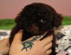 特卖会现货家养泰迪幼犬 宠物泰迪狗狗可选购