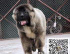 哪里有卖高加索犬 高加索多少钱